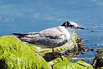 Common tern fledging, Bird Island, Marion, Massachusetts