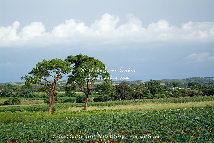 Peeled trees or Tourist trees surrounded by lush foliage in the Vinales Valley, Cuba.