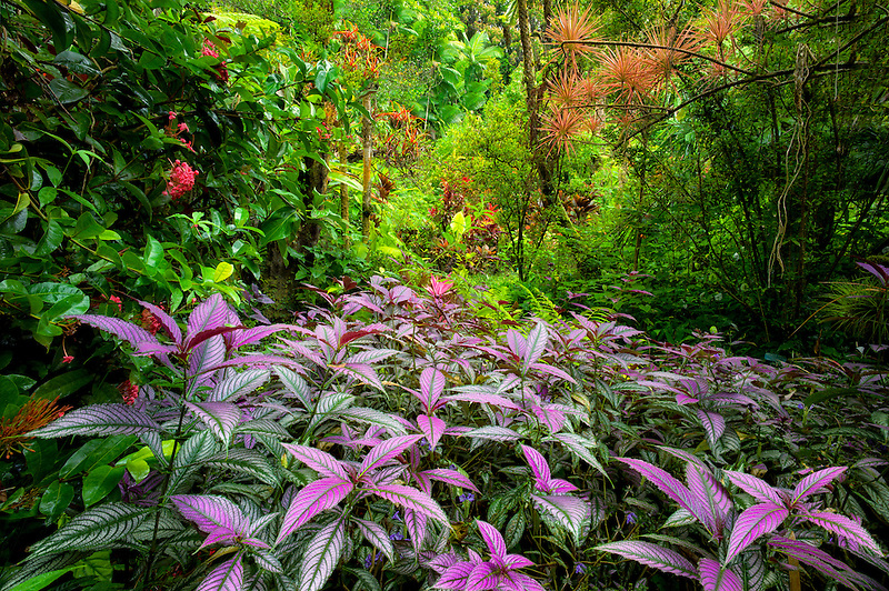 Purple Persian Shield plant in foreground and rainforest. Hawaii Tropical Botanical Gardens. Hawaii, The Big Island.