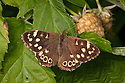 Speckled Wood butterfly {Pararge aegeria}, Derbyshire, UK. September.