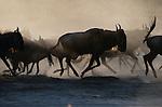 Common Wildebeest, Lake Ndutu region, Tanzania