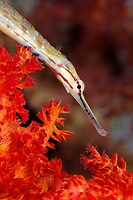 Network Pipefish, Corythoichthys flavofasciatus, over red soft coral, Eilat, Israel, Red Sea.