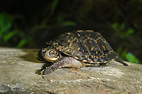 Blanding's Turtle youngster (Emydoidea blandingii), species at risk, Kejimkujik NP, Nova Scotia, Canada.