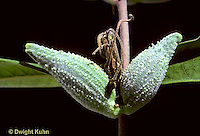MK25-002c  Milkweed - seed pods - Asclepias syriaca
