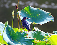 Adult green heron on lily pads