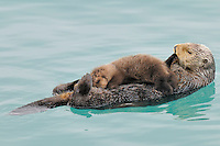 Alaskan or Northern Sea Otter (Enhydra lutris) mother nursing and grooming young pup.