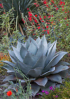Agave ovatifolia 'Frosty Blue', Whale's Tongue Agave silver gray foliage succulent in Kuzma summer-dry garden. Photo MUST be credited as Design by Sean Hogan.