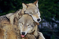 Two Gray Wolves (Canis lupis)  playing--dominance behavior.  Note: there is a third wolf whose ears just show at the bottom of the frame.