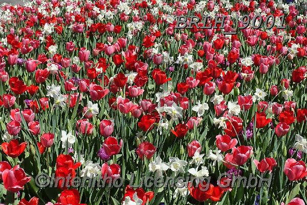 Luiz, FLOWERS, BLUMEN, FLORES, photos+++++,BRLH9001,#f#, EVERYDAY ,tulips ,allover