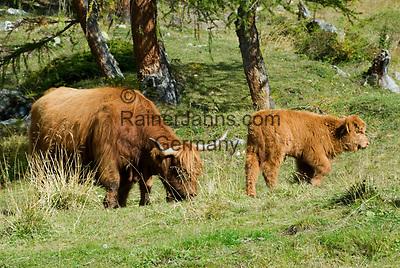 Oesterreich, Kaernten, Schottisches Hochlandrind, auch Highland oder Kyloe genannt - Muttertier und Kalb | Austria, Carinthia: Highland cattle, Kyloe - cow and calf