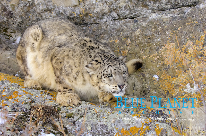 Snow Leopard (Panthera uncia), adult, camouflaged, crouched on rock