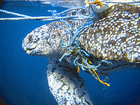 Rescue of leatherback turtle, Dermochelys coriacea, Scotts Head Dominica, Windward Islands, tangled in ropes and trash