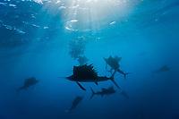 silhouette, Atlantic Sailfish, Istiophorus albicans, Isla Mujeres, Yucatan Peninsula, Caribbean Sea, Mexico, Atlantic