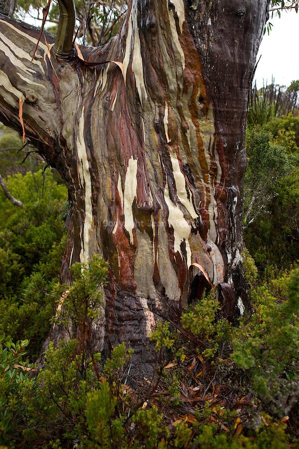 Under the rain, eucalypt trunks (alpine yellow gum, eucalyptus subcrenulata) moisten into deeper greens, browns, greys and pinks