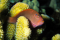 Arc-eye Hawkfish (Paracirrhites arcatus) seeks protection among Antler coral. It's hawaiian name is Piliko'a