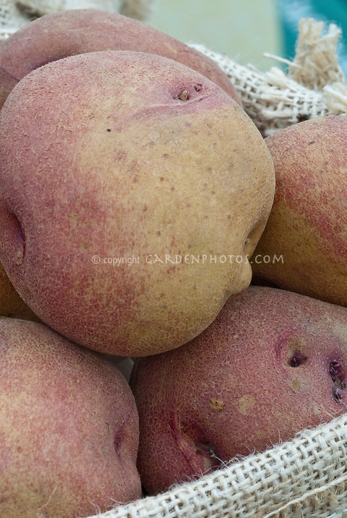Potatoes 'Peachbloom'  yellow and pink root vegetables close up