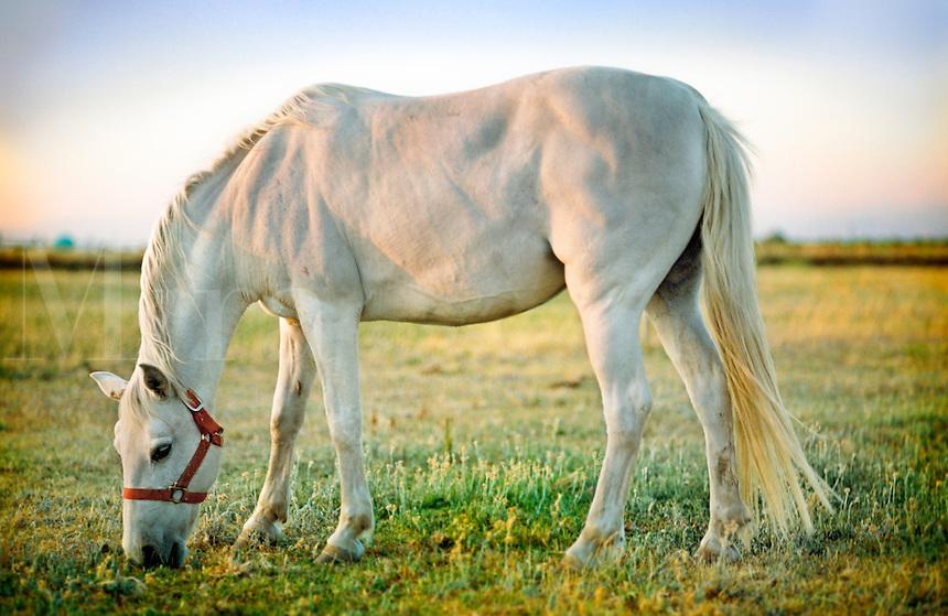 White horse in field.
