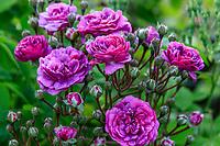France, Indre-et-Loire, Lémeré, jardins et château du Riveau au printemps, rosier 'Marie Viaud' sur les douves