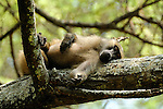 A baboon laying in a tree in Africa
