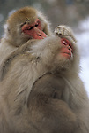 A Japanese macaque or snow monkey grooms another monkey in Jigokudani National Park, Japan.
