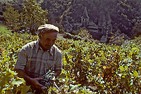Europe/France/Auvergne/12/Aveyron/Conques : Vigneron pendant les vendanges et l'abbatiale Sainte-Foy (XIème) [Non destiné à un usage publicitaire - Not intended for an advertising use](<br /> PHOTO D'ARCHIVES // ARCHIVAL IMAGES<br /> FRANCE 1980