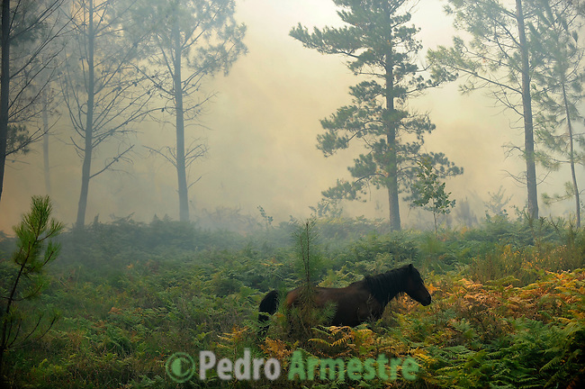 A horse is seen around the fire area in Boiro, on August 15, 2010, near A Coruña. Pedro ARMESTRE