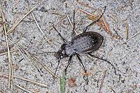 Gartenlaufkäfer, Garten-Laufkäfer, Goldgruben-Laufkäfer, Carabus hortensis, Oreocarabus hortensis, garden ground beetle