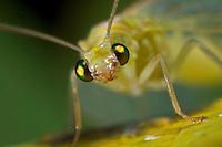 Florfliege, Grüne Florfliege, Goldauge, Chrysoperla carnea, common green lacewing, green lace-wing, Florfliegen, Goldaugen, Chrysopidae, Green lacewings, Green lace-wings