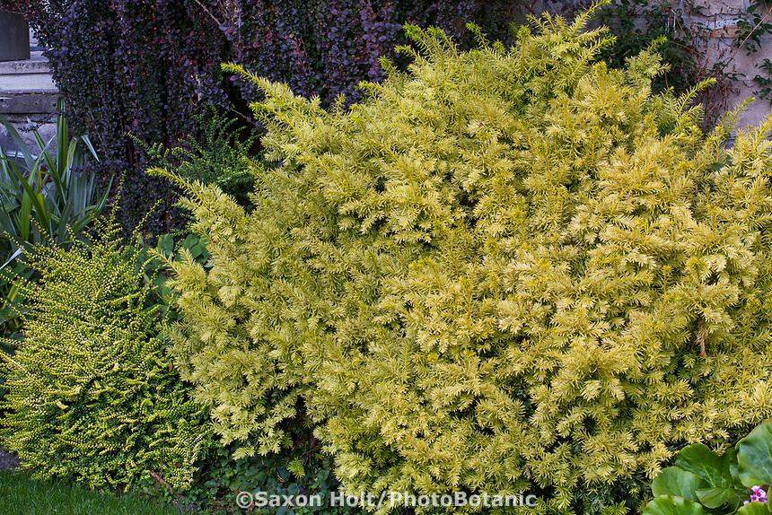 Taxus cuspidata 'Dwarf Bright Gold' with Lonicera nitida 'Twiggy' on lower left in Elisabeth Miller Botanical Garden