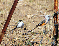 Fork-tailed flycatcher sitting next to adult scissor-tailed flycatcher. Note the diiference in sizes of the birds. The forked-tailed was always seen with a group of scissor-tailed flycatchers. Closest kin it could find I guess.