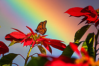 Monarch butterflies on pointsettia flowers.with rainvbow. Sun Yat Sen Park, Maui, Hawaii