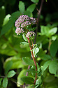 Orpine or Tickrag (Sedum telephium), early August.