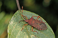 Braune Randwanze, Hasel-Randwanze, Haselrandwanze, Kopulation, Kopula, Paarung, Gonocerus acuteangulatus, Box Bug, Randwanzen, Lederwanzen, Coreidae, leaf-footed bugs