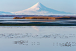 Migratory Brant in Izembek Lagoon with Shishaldin volcano in the background. Izembek NWR, Alaska.