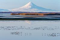 Migratory Brant in Izembek Lagoon with Shishaldin volcano in the background. Izembek NWR, Alaska.
