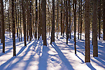 Trees in Woods Casting Strong Shadows on a Winter Day in New Hampshire