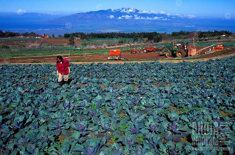 Mrs. Fujitani tending purple cabbage on her family farm in Kula, Island of Maui
