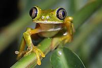 .Lemur Leaf Frog (Phyllomedusa lemur), adult, Siquirres, Costa Rica