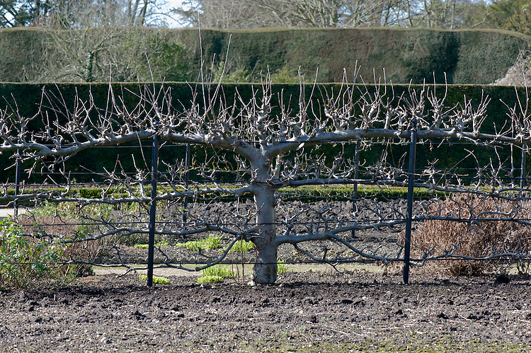 A mature espalier apple tree, early March. In need of a winter prune to cut back the long vertical shoots from the spurs on the upper arms.