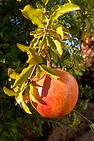 pomegranate fruit on a tree branch herdade do peso alentejo portugal