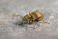 Messingkäfer, Messinggelbe Diebskäfer, Niptus hololeucus, Golden spider beetle, Nagekäfer, Ptinidae, Diebskäfer, Ptininae, Spider beetles
