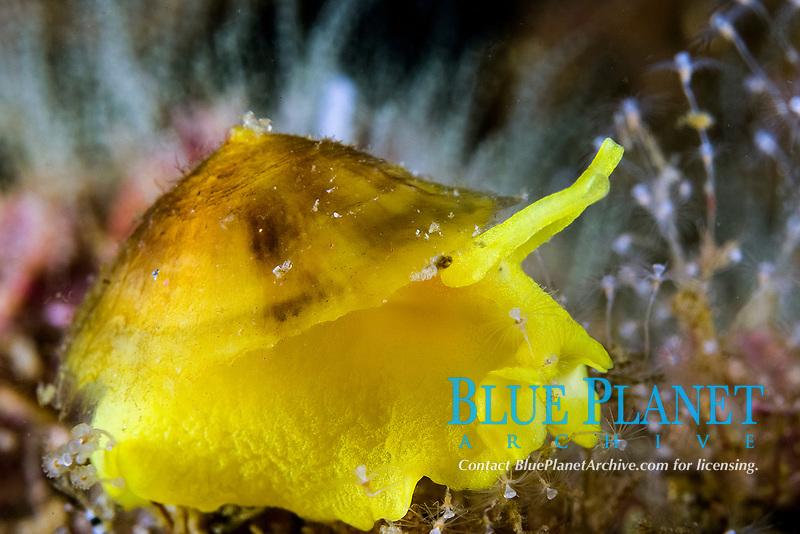 false limpet, or sea snail, Tylodina fungina, Sea of Cortez, Baja California Mexico
