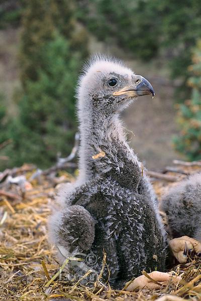 Bald eagle (Haliaeetus leucocephalus) chick in nest.
