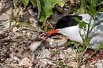Common tern adult feeding chick in nest, Bird Island, Marion, Massachusetts.