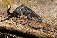River Otter walking down a log near a pond - CA
