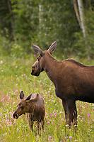 Cow moose and calf along the Alaska Highway, Interior, Alaska.