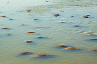 Florida Manatees (Trichechus manatus latirostris) Congregate en masse near the warm water discharge at the Tampa Electric Company Manatee Viewing Center located in Apollo Beach,Florida.