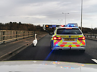 Traffic police officers in two response vehicles have helped escort a swan to safety at about 9am on the A4232 road in the outskirts of Cardiff, Wales, UK. Tuesday 23 February 2021
