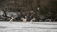 Pelicans sit in freezing temperatures as the lake freezes over in St James's Park outside Buckingham Palace in Snow in London as Beast from the East weather continues at City of London, London, England on 1 March 2018. Photo by Andy Rowland.