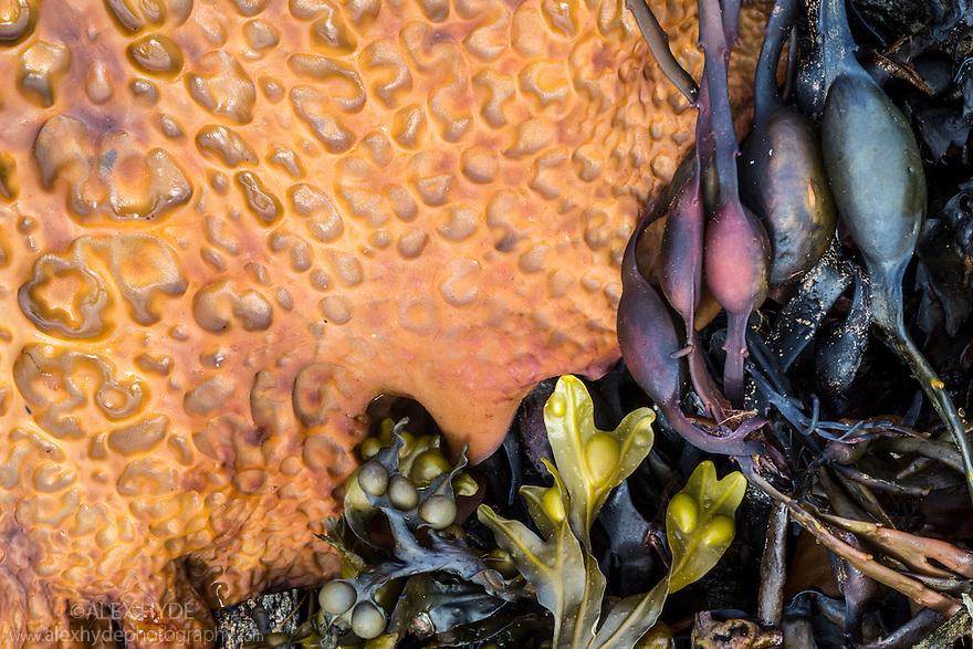 Various seaweeds stranded on a beach including Sea Belt / Devil's Apron {Laminaria saccharina} and Knotted / Egg Wrack {Ascophyllum nodosum} Isle of Mull, Scotland, UK. June.